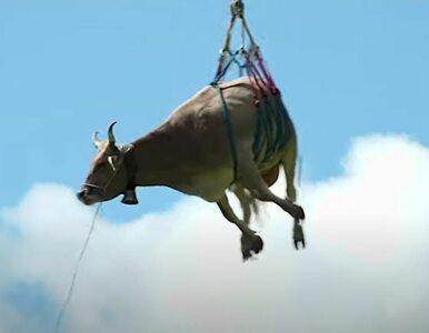 Podczas sprowadzania krów w niższe partie Alp, jedna została ranna....