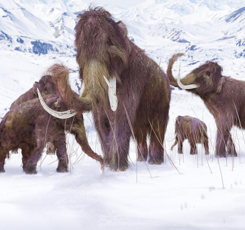 Mamuty, zdjęcie ilustracyjne