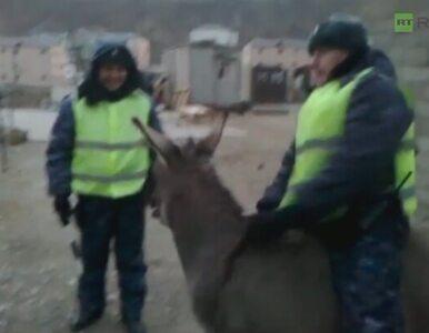 Rosyjska policja zamierza ujeżdżać osły?