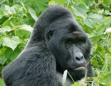 """IUCN zmienia """"czerwoną listę"""". Wypisano pandę, dopisano goryle i zebry"""
