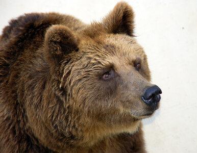 Niedźwiedź przyszedł do baru. Niczego nie zamówił