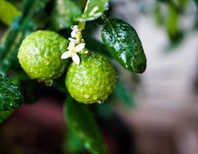 Bergamotka: skarbnica witaminy C. Właściwości, zastosowanie