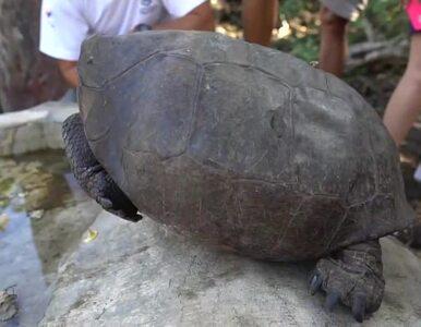 Galapagos. Znaleziono żółwicę z gatunku uważanego za wymarły od stu lat
