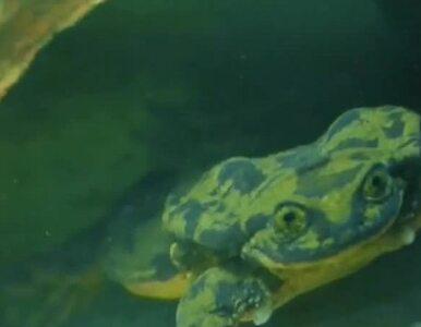 Romeo szuka żony. Samiec zagrożonej wyginięciem żaby ma profil na...