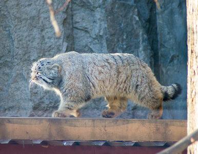 Wygląda jak przekarmiony, puszysty kociak. W rzeczywistości jest dzikim...