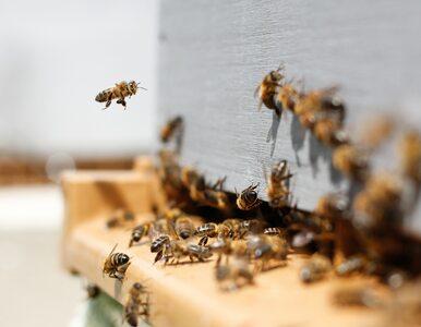 Tego o pszczołach nie wiedzieliśmy. Przełomowe odkrycie polskich naukowców