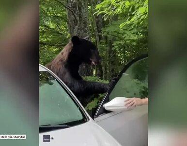 """Niedźwiedź... zatrzasnął się w samochodzie. Właściciel """"wyprosił go"""" z..."""
