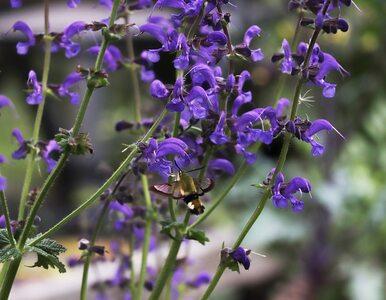 Bluszczyk kurdybanek – niepozorna roślina, która oferuje olbrzymie...