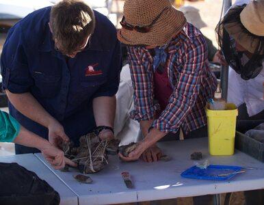 Nowy gatunek dinozaura odkryty w Australii. Największy na tym kontynencie