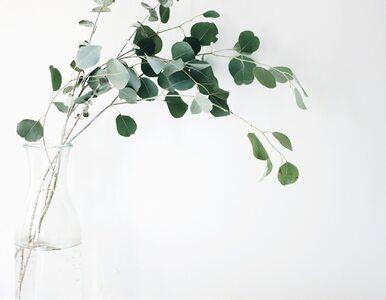 Eukaliptus. Niecodzienna roślina, która niesie wiele korzyści zdrowotnych