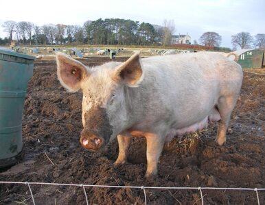 Liczba martwych świń w rzece rośnie. Wyłowiono już 12,5 tys.