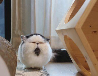 Kot o idealnie kulistym kształcie i do tego z brodą? Poznajcie Zuu