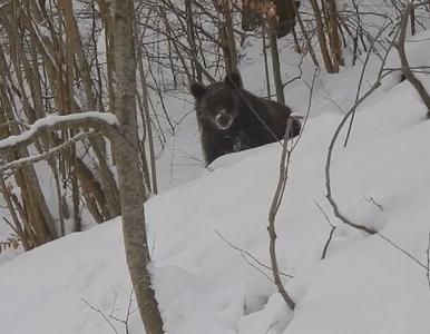 """Leśniczy z Podkarpacia rozmawiał z niedźwiedziem. """"Grzesiu, czego ty nie..."""