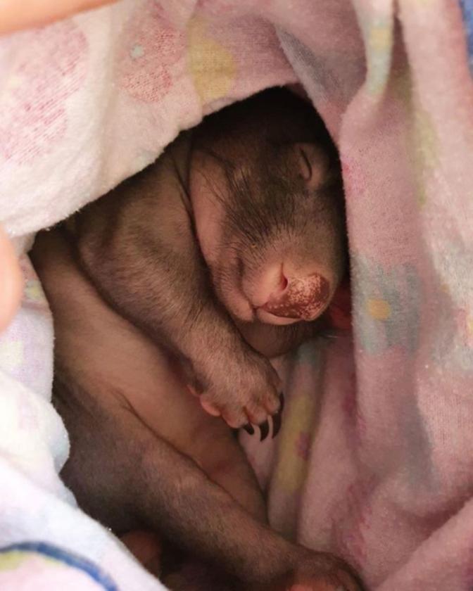 Malutki wombat