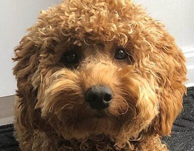 Cockapoo. Nowa rasa psów podbija serca wielbicieli czworonogów