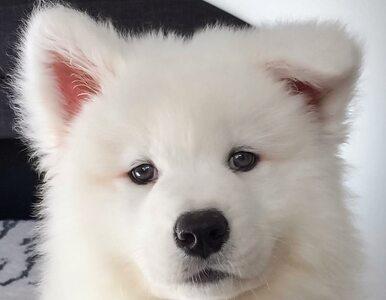 Ma puszystą sierść i zarabia 320 tys. zł rocznie. Ten pies skradł serca...