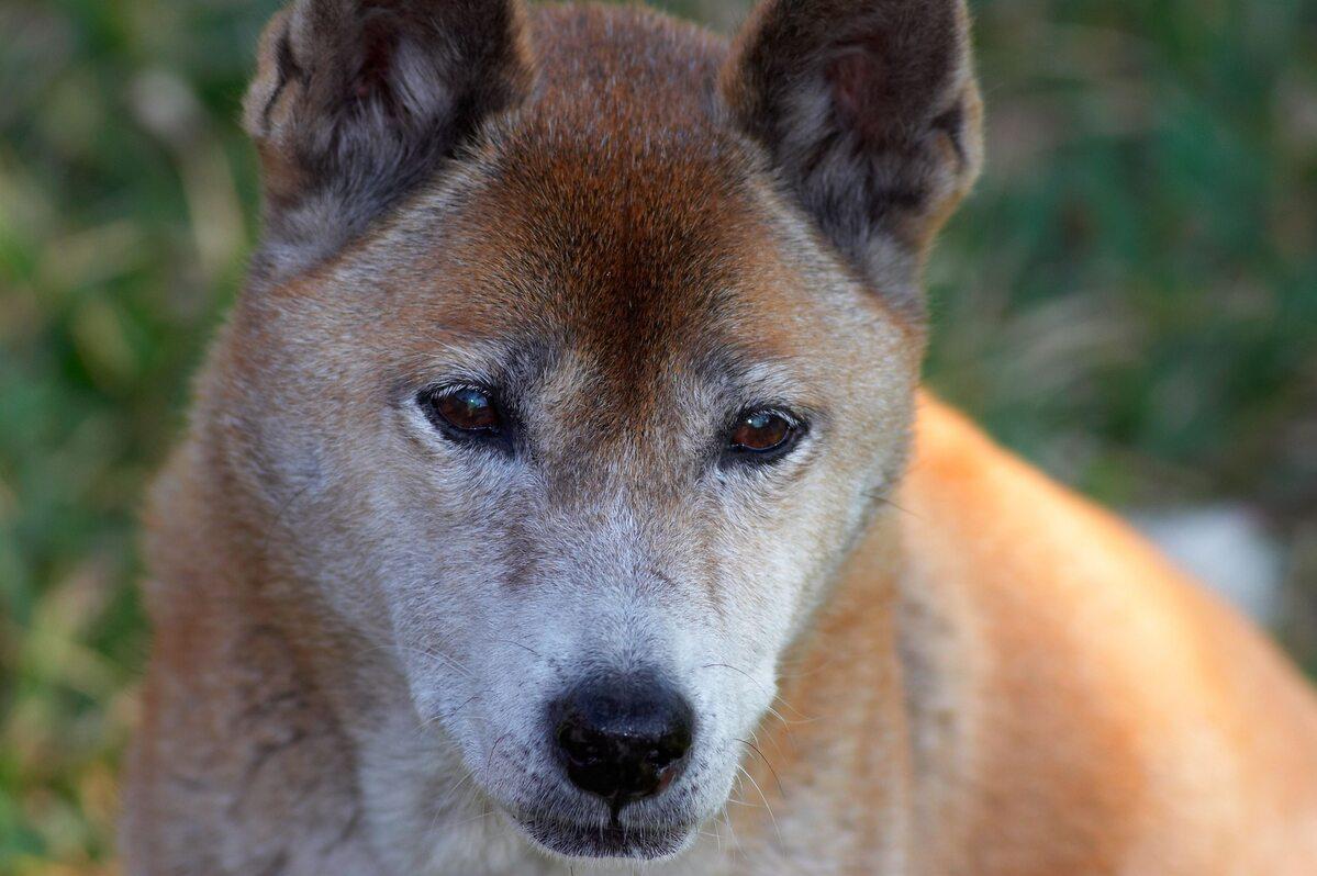 Śpiewający pies z Nowej Gwinei