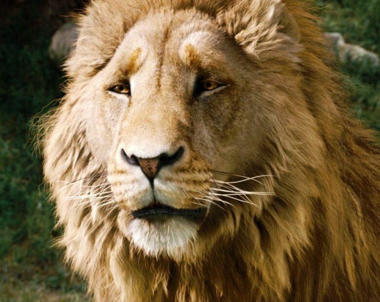 Mufasa i Aslan jak prawdziwi! Ten fotograf ma oko do lwów