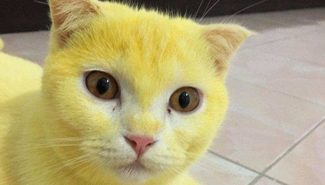 Żółty kot Ka-Pwong