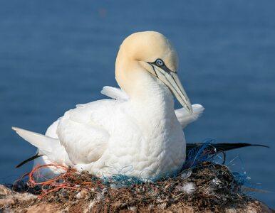 Na wyspie Mana zmarł najbardziej samotny ptak na świecie
