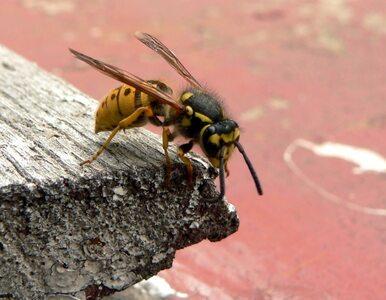 Jak uczulony reaguje na ukąszenie osy lub pszczoły?