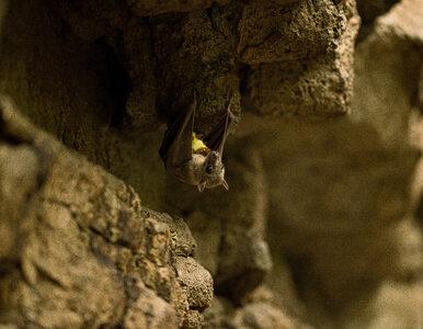 Nietoperze zaczynają hibernację. Znana jaskinia zamknięta dla zwiedzających