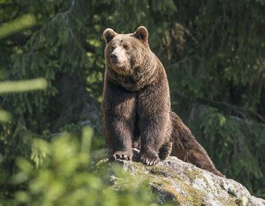 Mężczyzna obdarty ze skóry przez niedźwiedzia. Lekarze walczą o życie...
