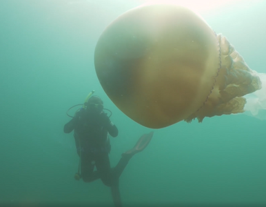 Gigantyczna meduza nagrana u wybrzeży Wielkiej Brytanii. Jest wielkości...