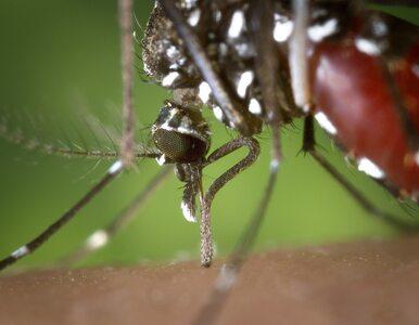 Niebezpieczny komar tygrysi w Polsce. Naukowiec zrobił mu zdjęcie