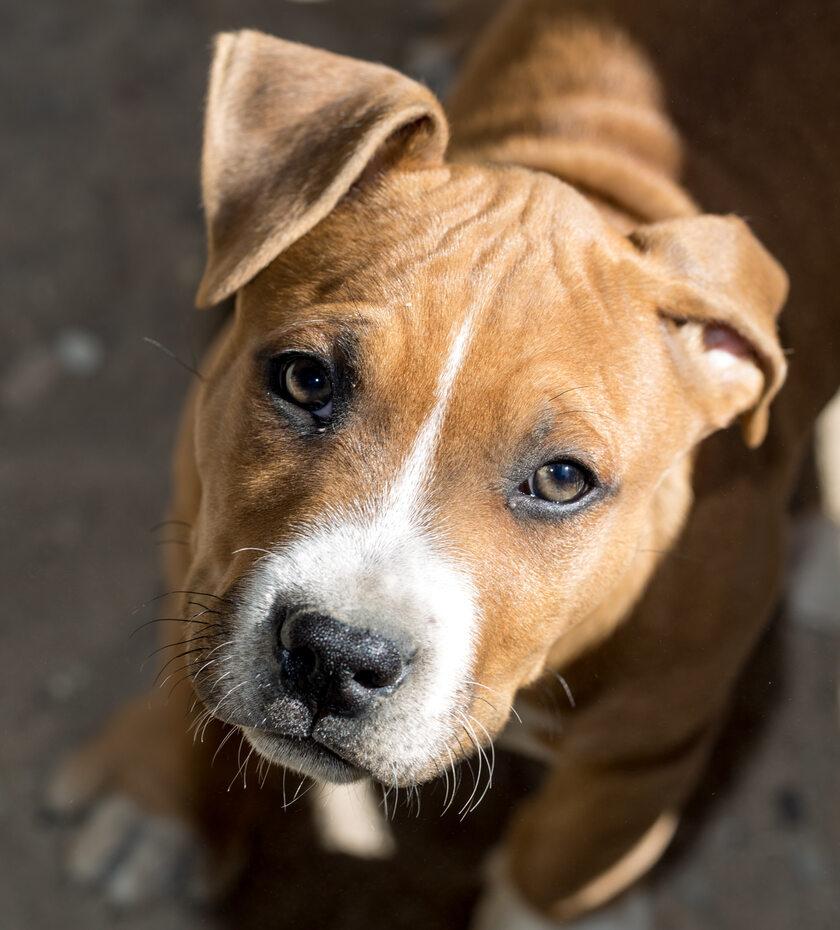 Pies, Pitbull, zdj. ilustracyjne