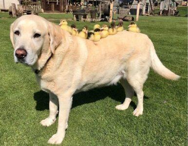 """Labrador przygarnął dziewięć małych kaczątek. """"Należy mu się tytuł taty..."""