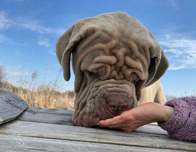Oto jeden z najbardziej pomarszczonych psów świata. Może ważyć nawet 70 kg