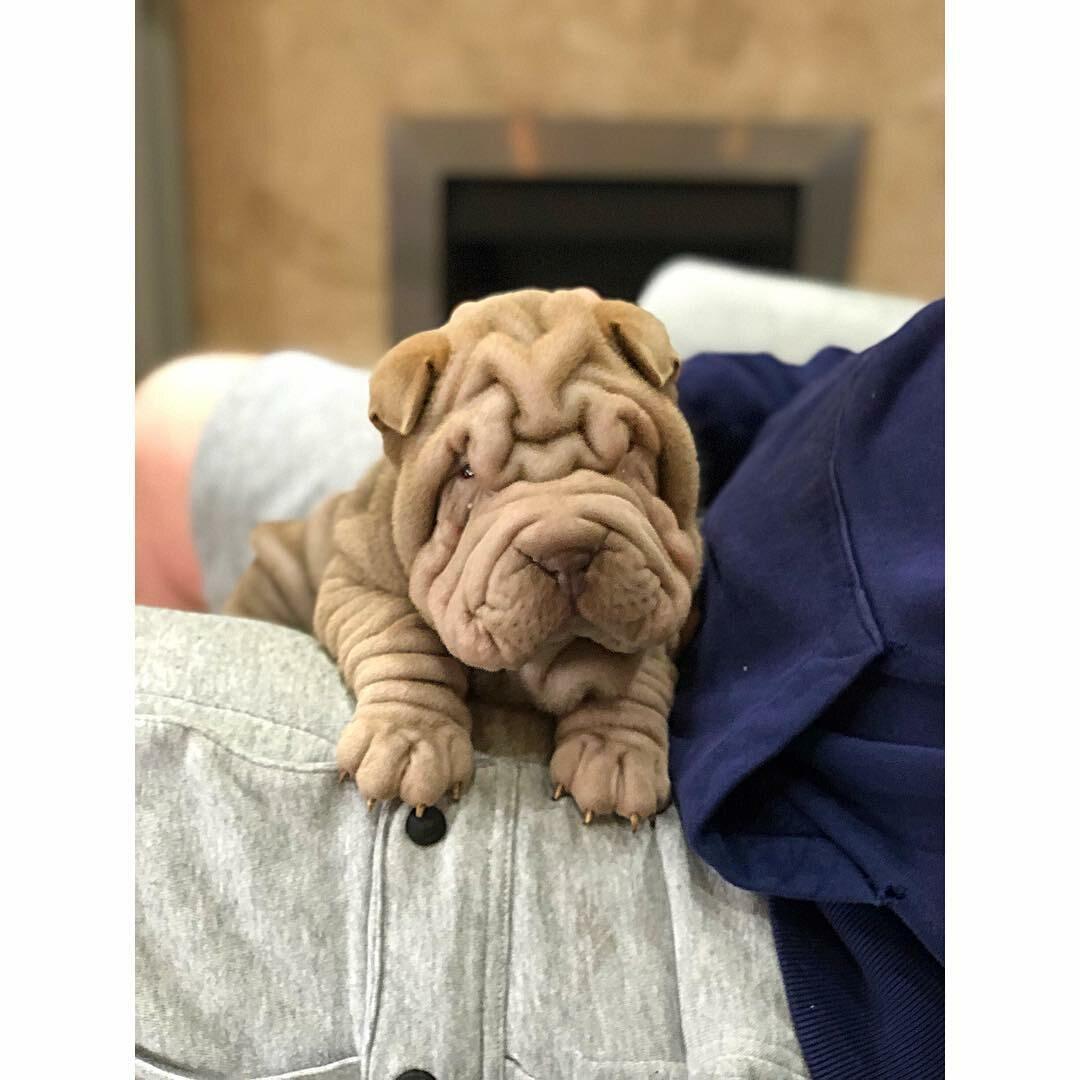 Pies Dylan