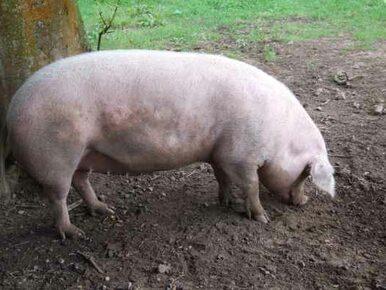 Unia upomniała Ukrainę za embargo na wieprzowinę