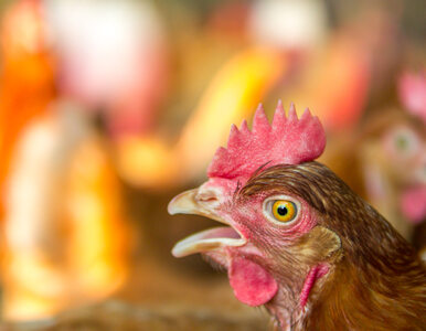 Grypa ptaków dziesiątkuje polski drób. Ceny mięsa rosną w zastraszającym...