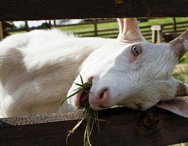 Ile naprawdę jest warta rzeźba z zagrody dla kóz?