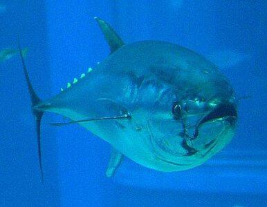 Złowił gigantycznego tuńczyka. Na brzegu mu go zabrali