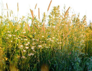 Szczwół plamisty – trująca roślina występująca w Polsce. Nigdy jej nie...