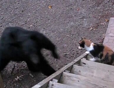 Kot przepłoszył... niedźwiedzia