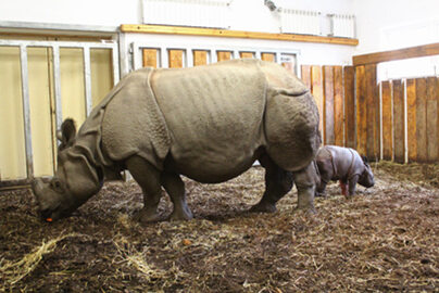 W warszawskim zoo urodził się nosorożec