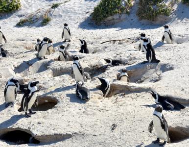 Jak i o czym rozmawiają ze sobą pingwiny? Naukowcy odpowiedzieli