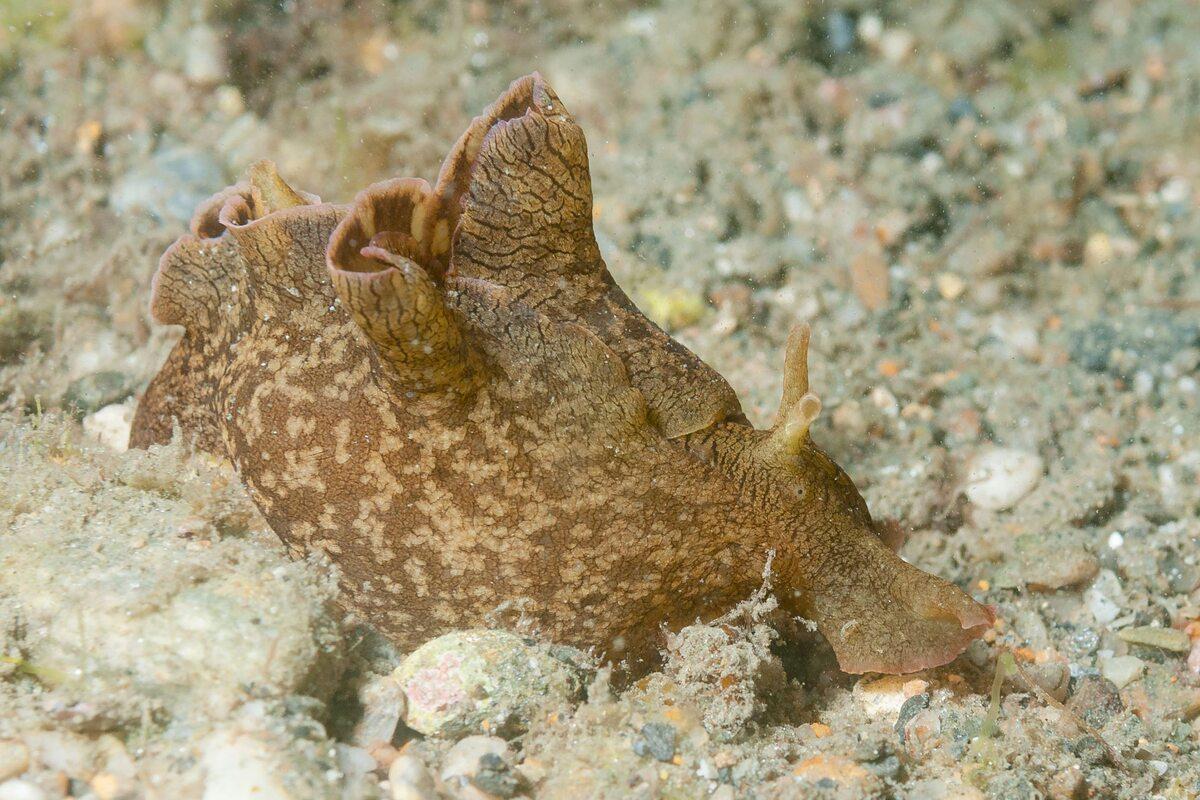 Zając morski, zdjęcie ilustracyjne