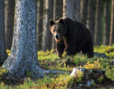 TPN przedstawił szczegóły ataku niedźwiedzia na turystę w Tatrach