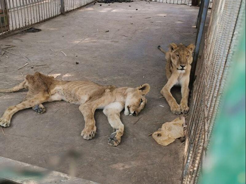 """Chore i głodujące lwy w parku. """"Ich kości przebijają się przez skórę"""""""