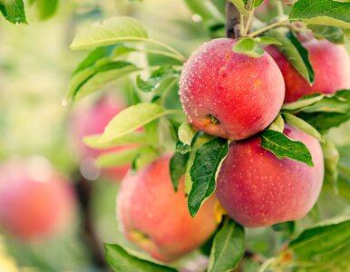 Jesz niedojrzałe owoce, ponieważ mają mniej kalorii? Sprawdź, dlaczego...