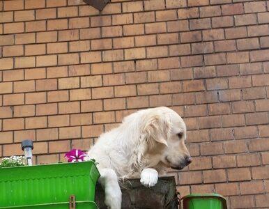 Pies na balkonie nową atrakcją turystyczną Gdańska. Miał 4,9 gwiazdki na...