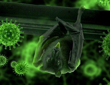 Nowe koronawirusy u nietoperzy. Odkryto podobieństwo do SARS-CoV-2