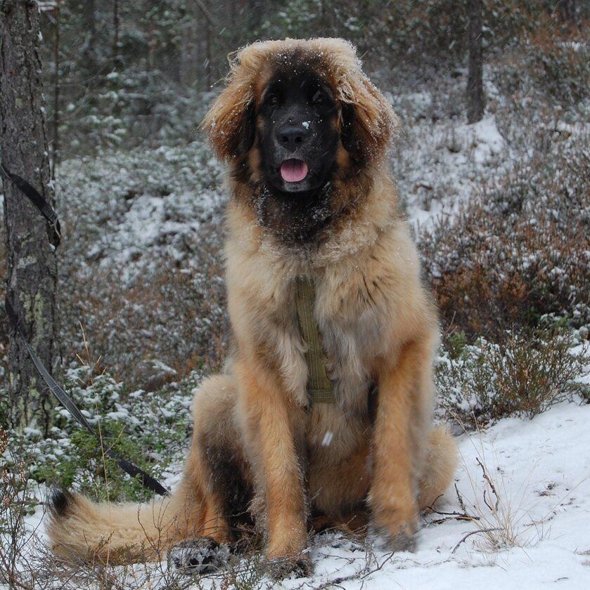 Pies Runny