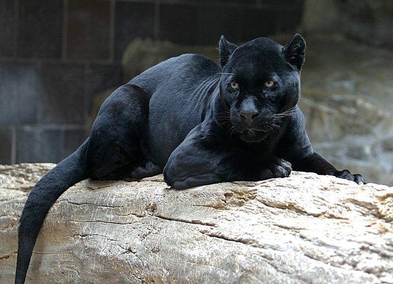 Jaguar (czarna pantera)