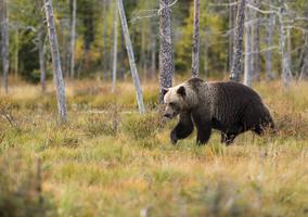 Jak uniknąć szkód wyrządzanych przez niedźwiedzie?